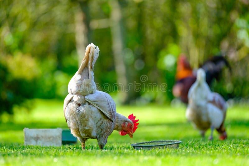 Ponedora adulta de huevo que ve por su canal de la comida en un jardín imagenes de archivo
