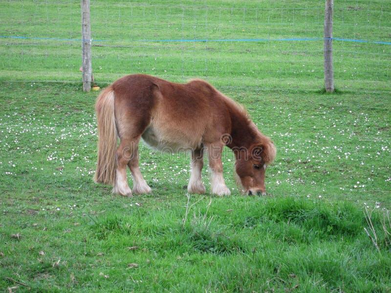 Poney photo libre de droits