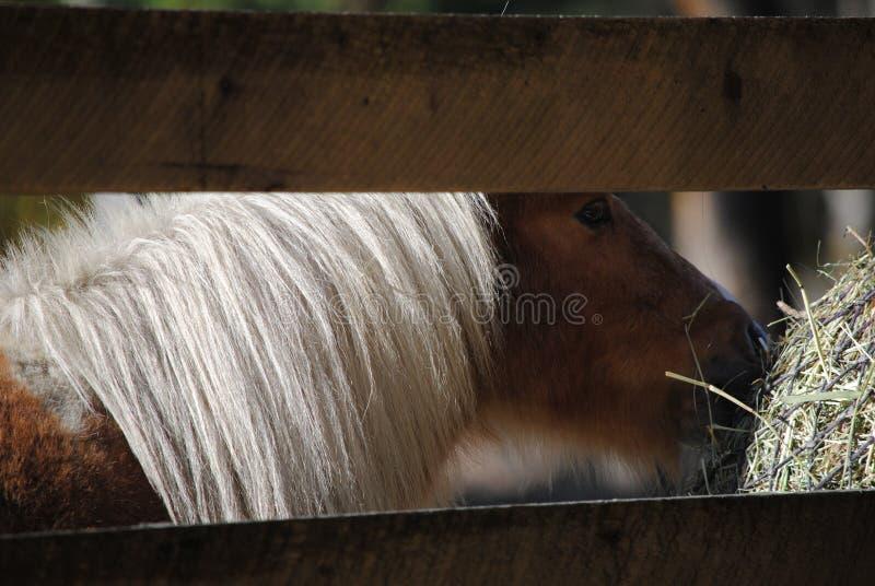Poney photographie stock