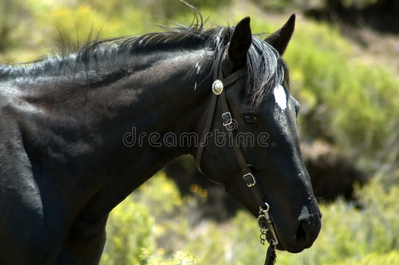 Poney 3 de Basotho photographie stock libre de droits