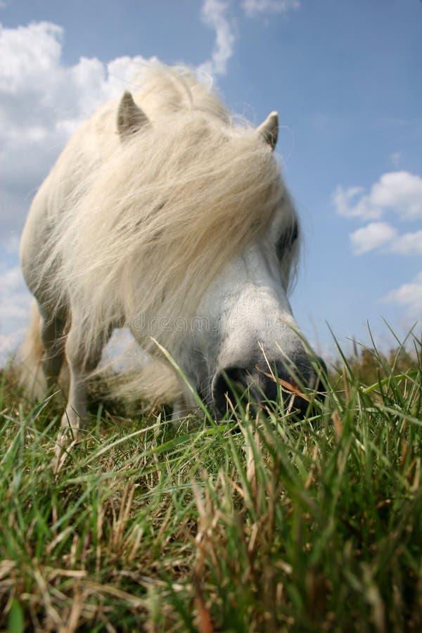 Poney affamé blanc images libres de droits