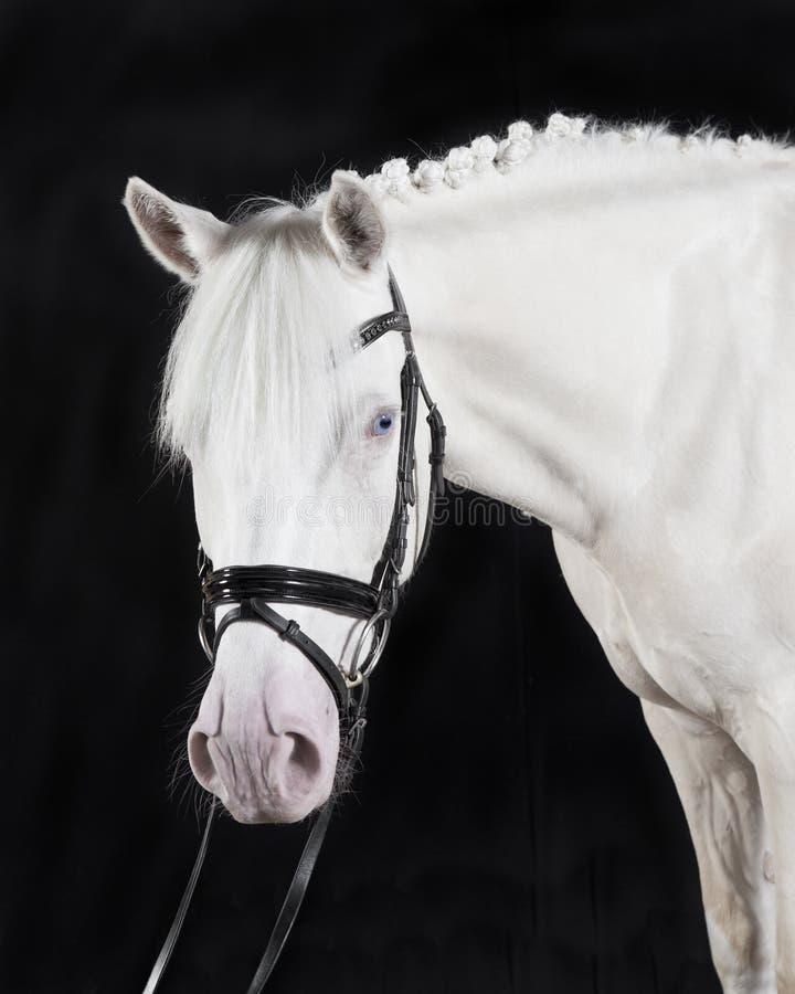 Poney allemand d'équitation photos stock
