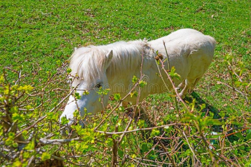 Poney blanc dans un pré au printemps image libre de droits