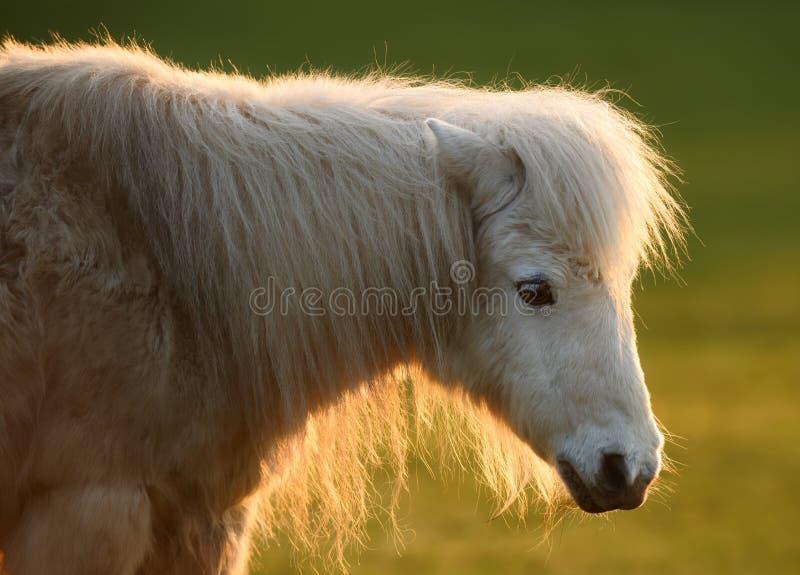 Poney blanc en soleil photos stock