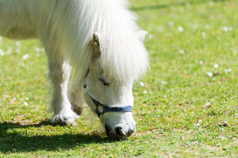 poney blanc mangeant l'herbe sur le pré photo libre de droits