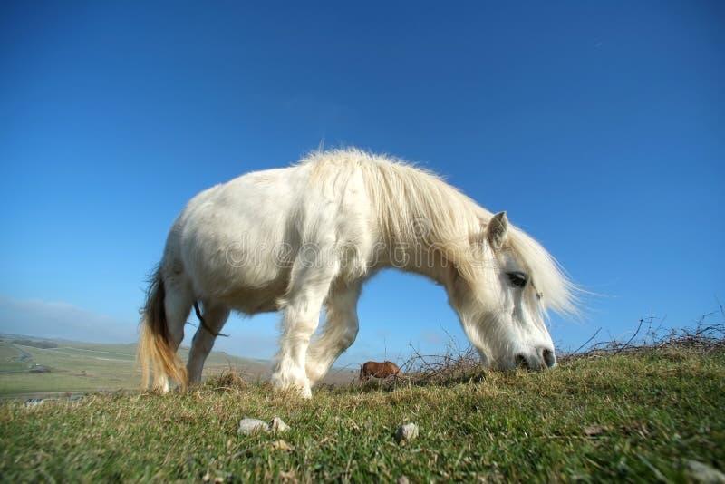 Poney blanc photo libre de droits