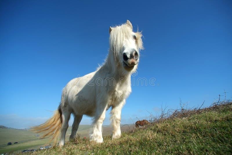 Poney blanc photographie stock libre de droits