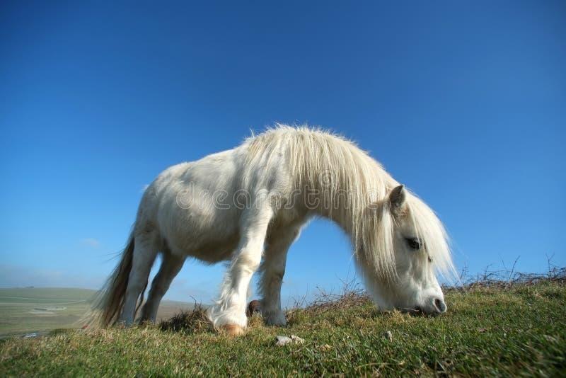 Poney blanc photos libres de droits