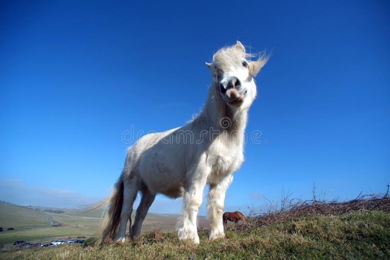 Poney blanc images libres de droits