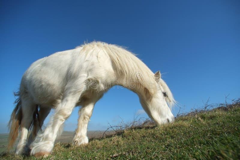 Poney blanc photo stock
