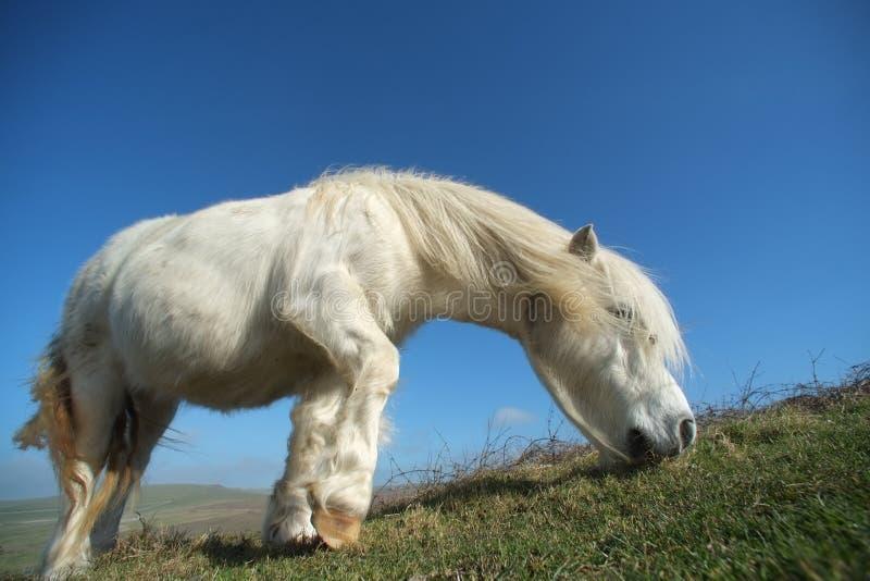 Poney blanc images stock