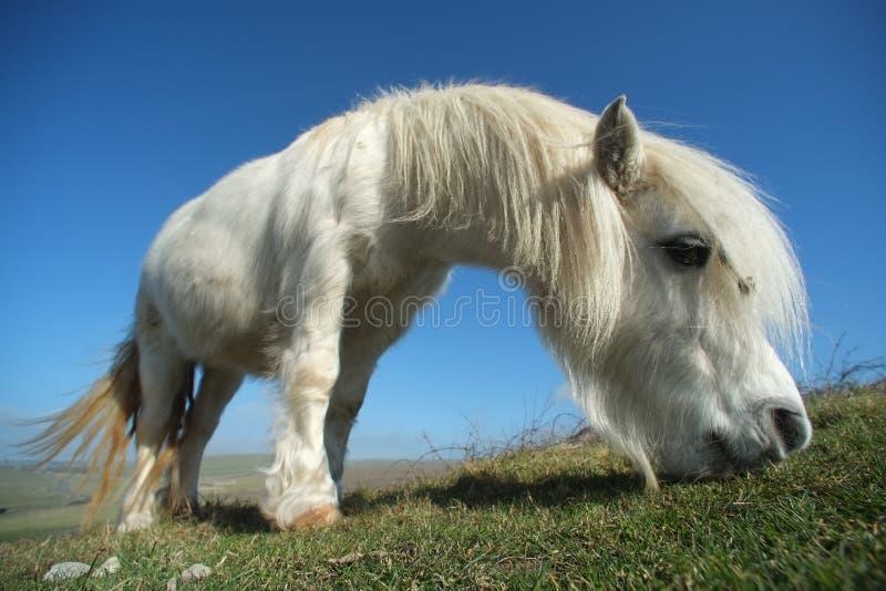 Poney blanc image libre de droits