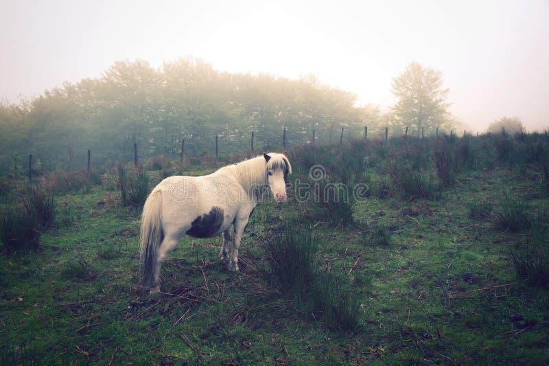 Poney blanc sur le champ avec le brouillard dans le vintage photographie stock