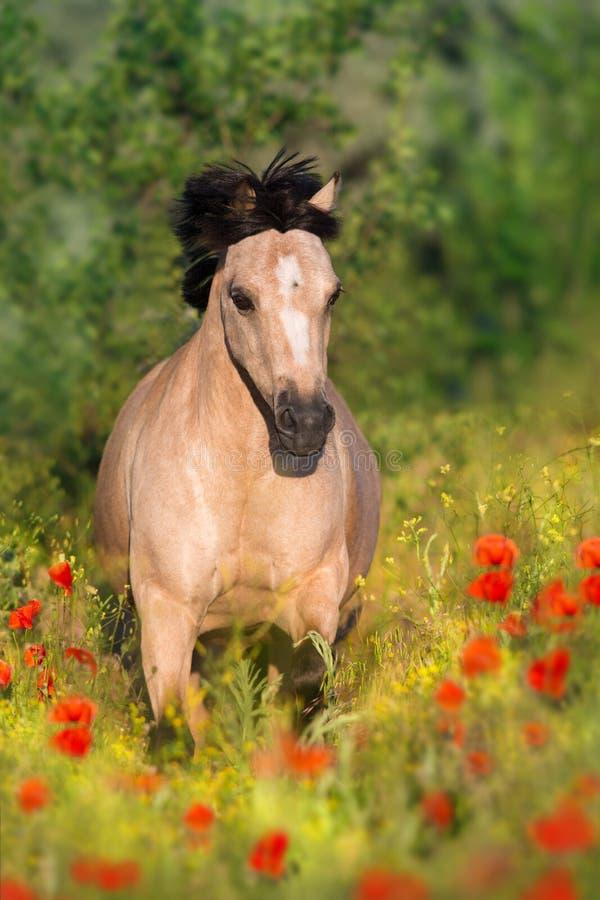 Poney brun grisâtre dans le pavot photo stock