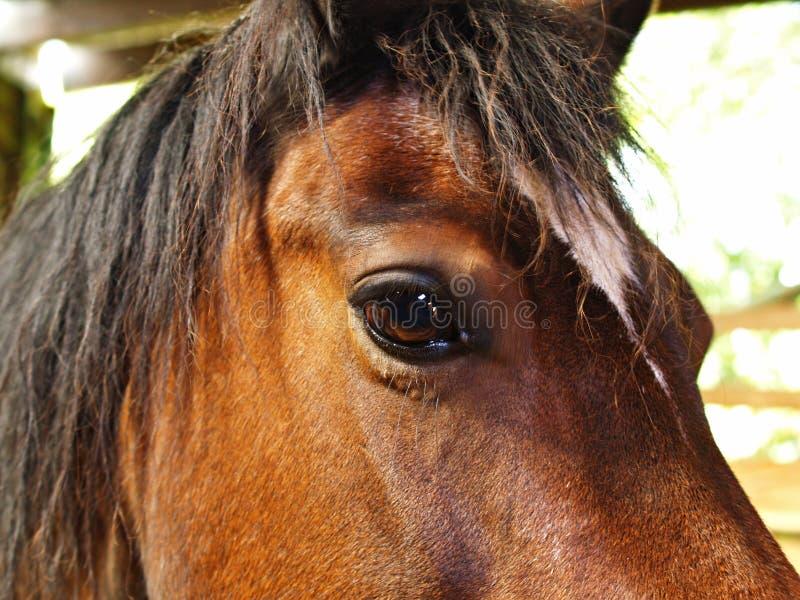 Poney d'épi de Gallois images libres de droits