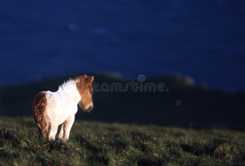 Poney D îles Shetland Photos libres de droits