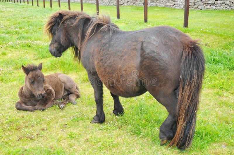 Poney d'îles Shetland dans Lerwick image stock