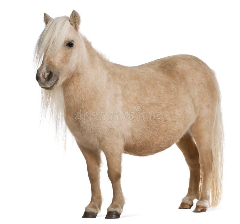 Poney d'îles Shetland de Palomino, caballus d'Equus photo libre de droits