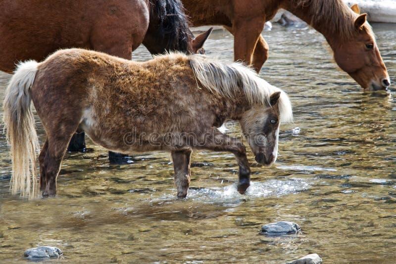 Poney d'îles Shetland remuant des choses images stock