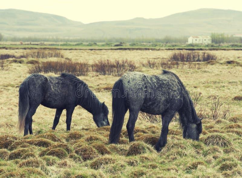 Poney de chevaux de l'Islande photographie stock