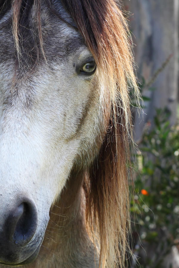 Poney de Connemara photographie stock libre de droits