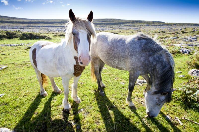 Poney de Connemara image libre de droits