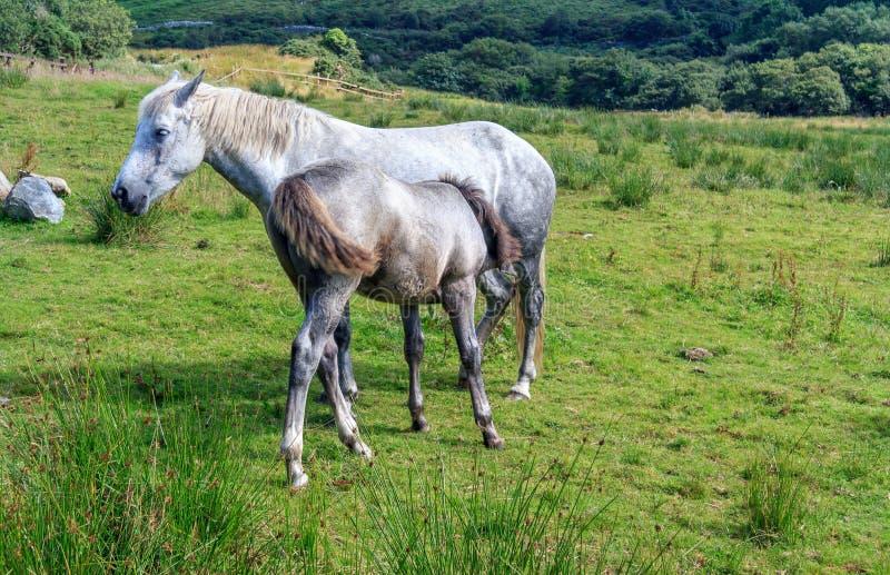 Poney de Connemara images stock