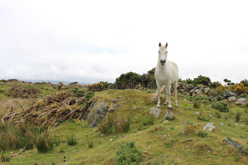 Poney de Connemara photographie stock libre de droits