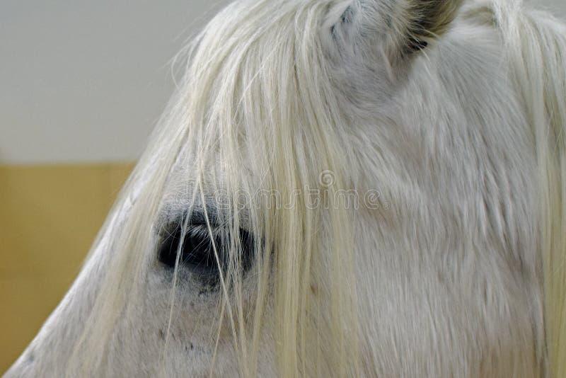 Poney de Connemara photo stock