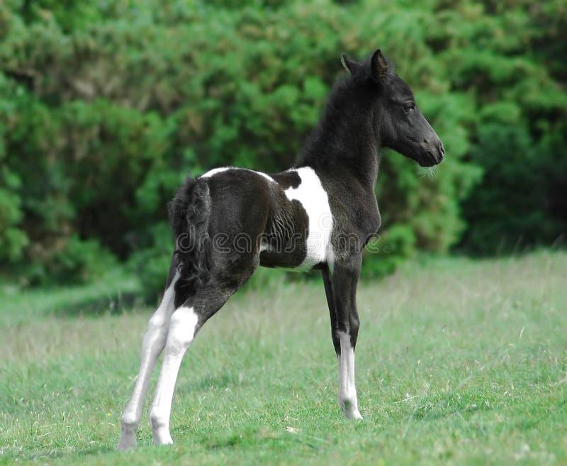 Poney de Dartmoor image libre de droits