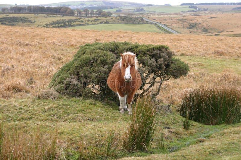 Poney de Dartmoor avec vue sur l'amarrage images stock