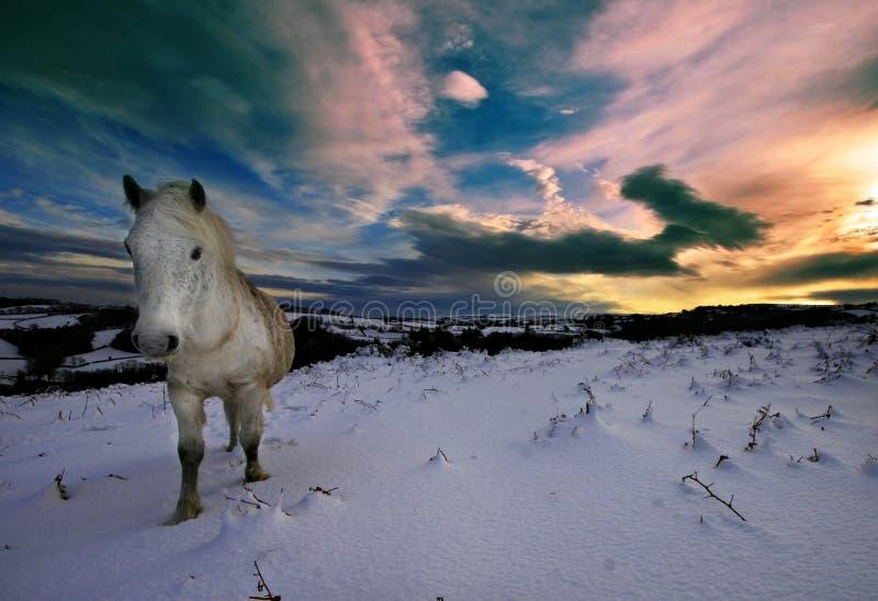 Poney de Dartmoor marchant dans la neige photographie stock libre de droits