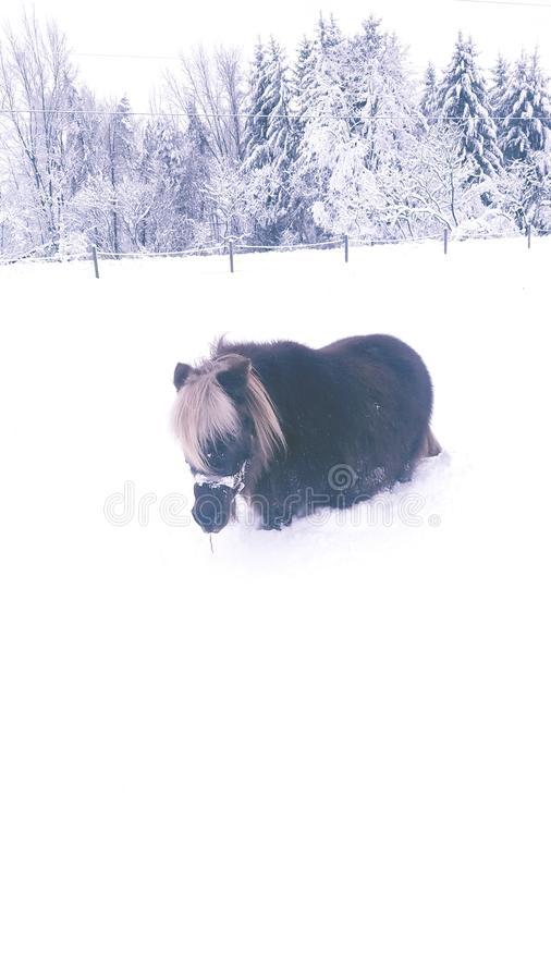 Poney de neige photos stock