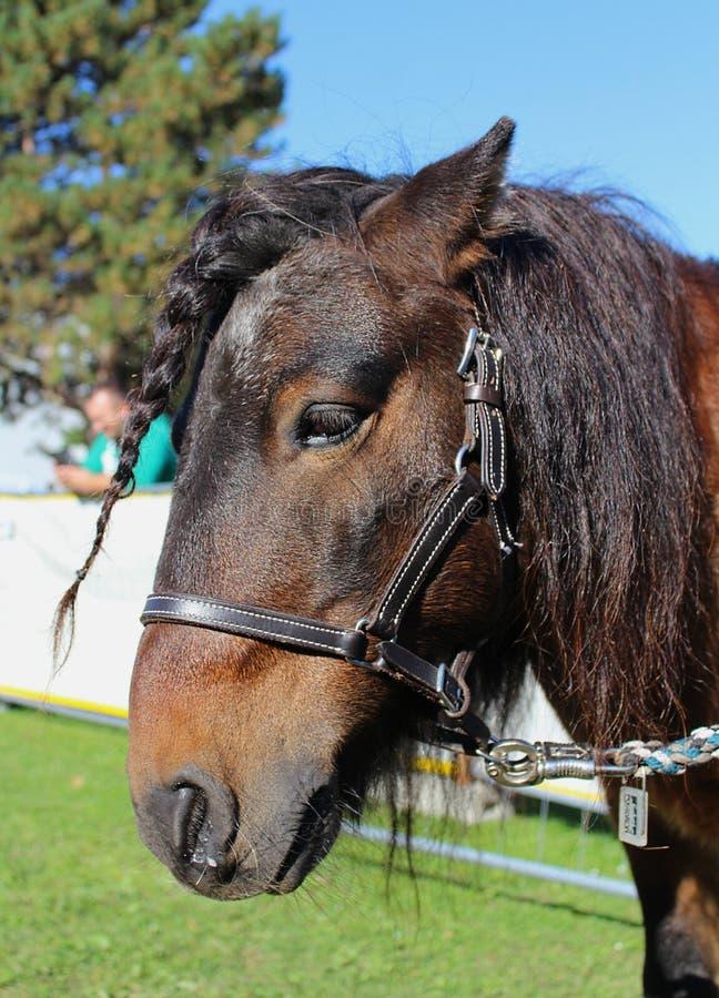 Poney de Shetland photos stock