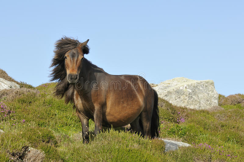 Poney de Shetland photo libre de droits