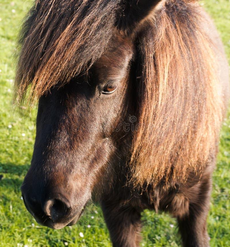Poney de Shetland image libre de droits