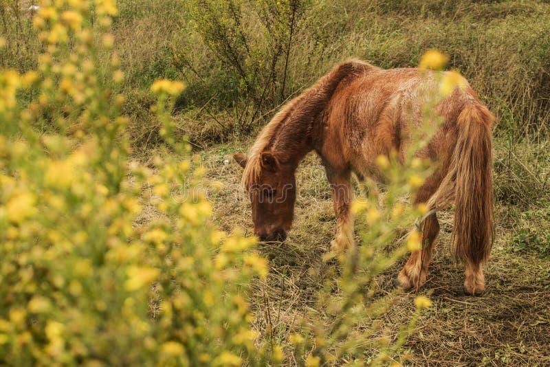Poney de Shetland animaux photographie stock
