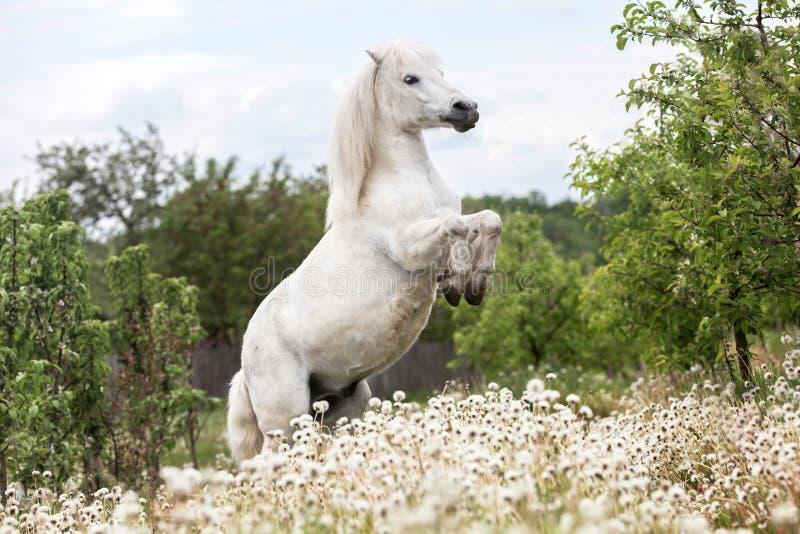 Poney de Shetland blanc s'élevant dehors photos libres de droits