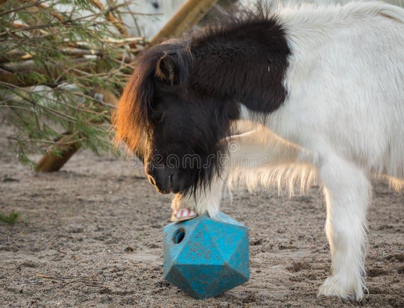 Poney de Shetland jouant avec la boule, ascenseurs sa jambe comme il essaye d'obtenir des festins du jouet de boule de cheval photos libres de droits