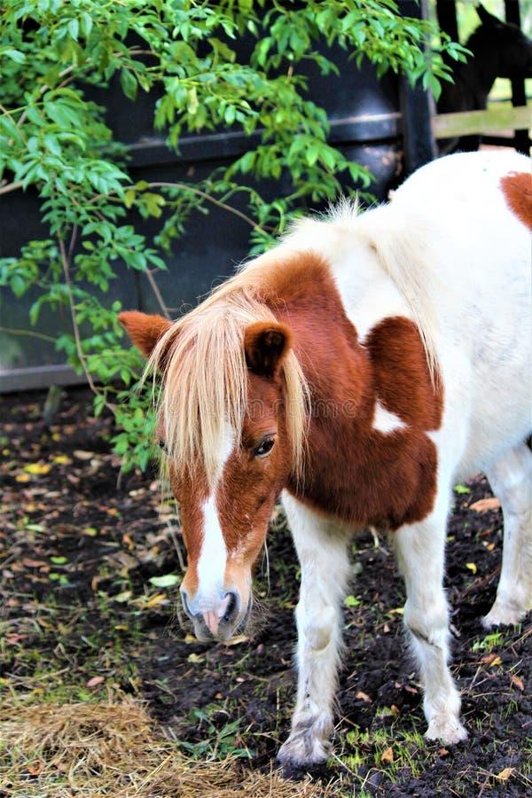 Poney de Shetland repéré images stock