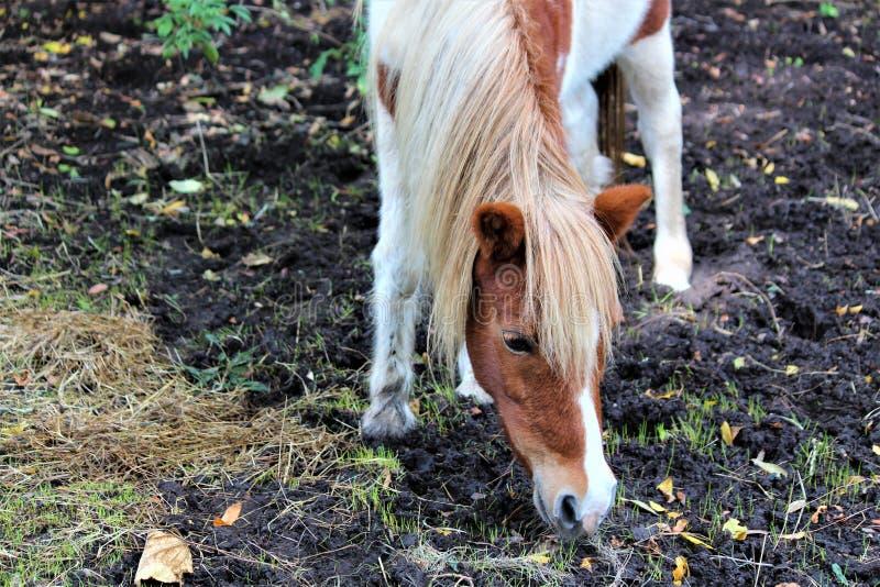 Poney de Shetland repéré photo stock