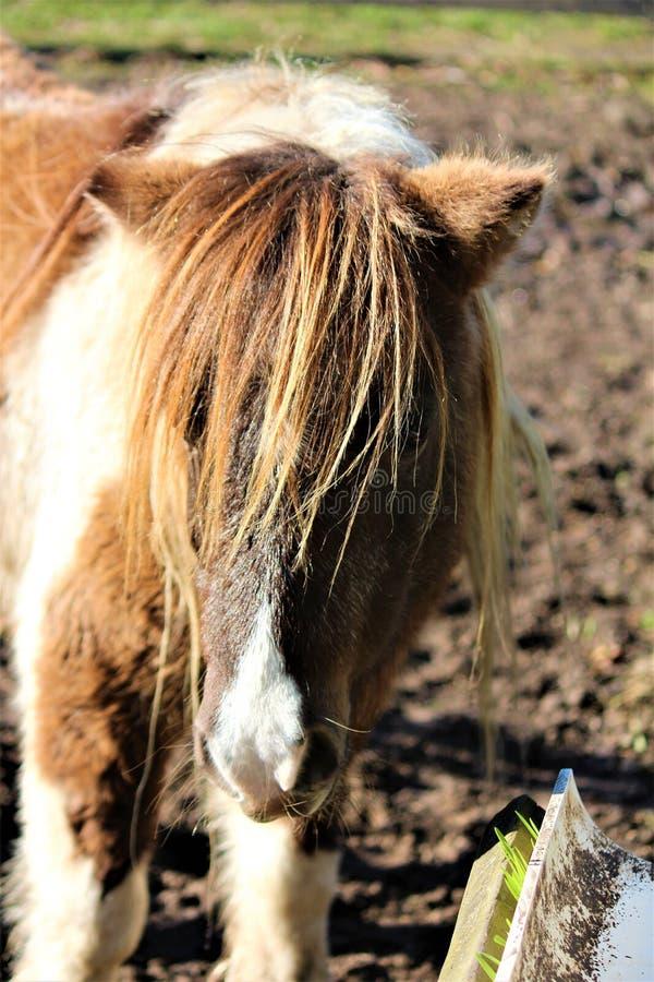 Poney de Shetland repéré photos stock