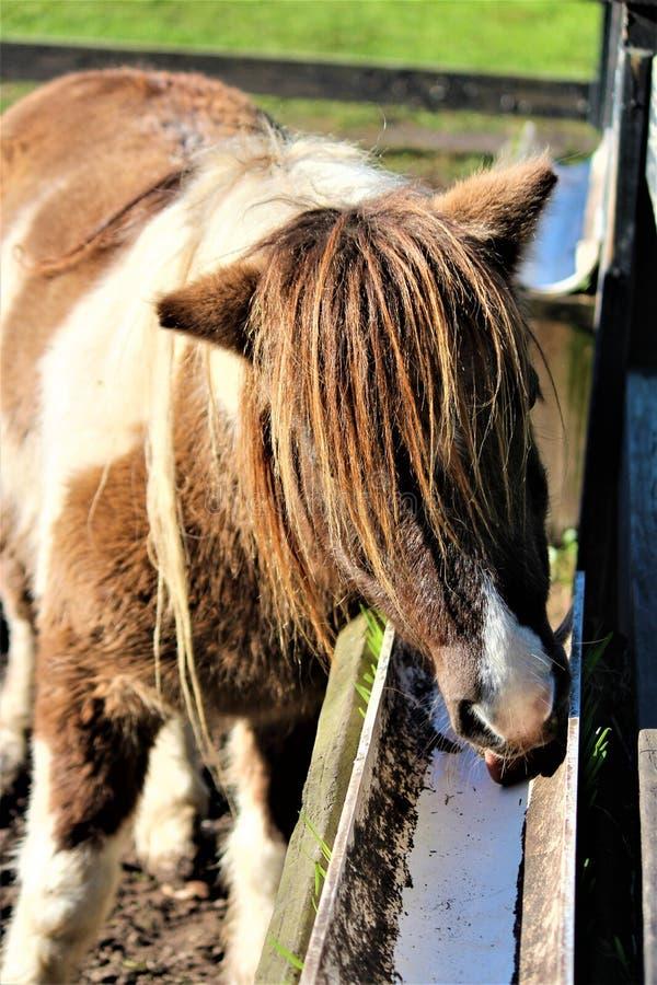 Poney de Shetland repéré image libre de droits