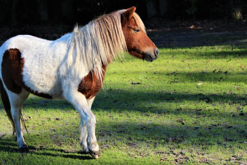 Poney de Shetland repéré image stock