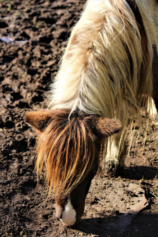 Poney de Shetland repéré images libres de droits