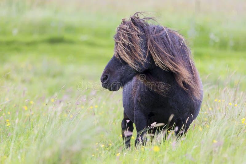 Poney de Shetland simple avec de longs cheveux se tenant en vent sur l'herbe courte photographie stock libre de droits