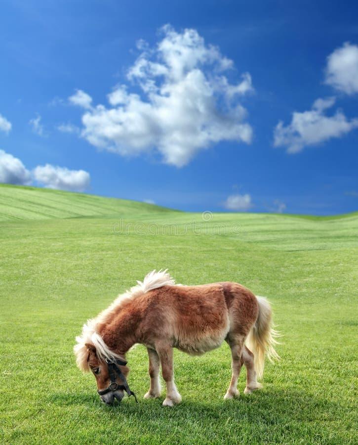 Poney en nature photo stock