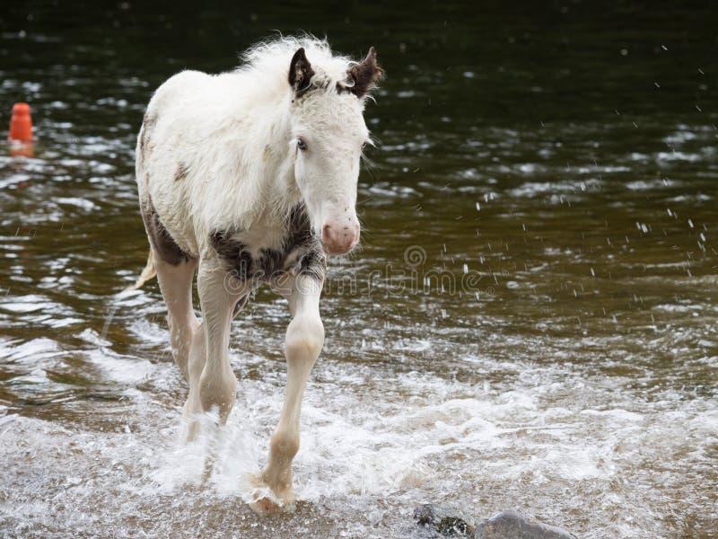 Poney en rivière image libre de droits