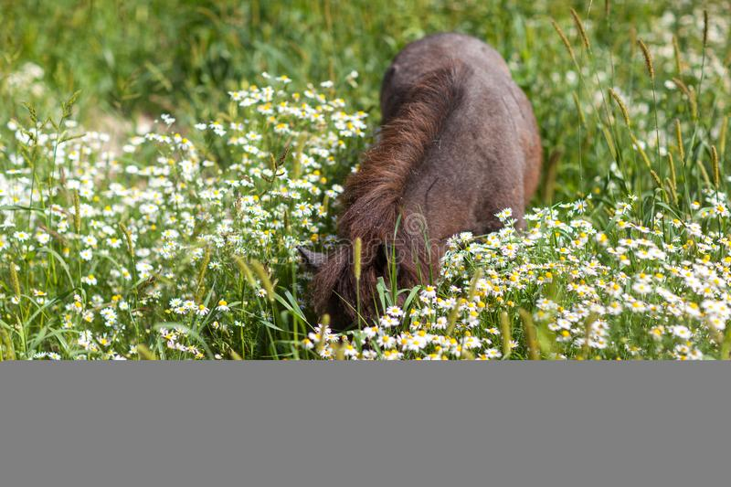 Poney frôlant sur un pré fleurissant images libres de droits