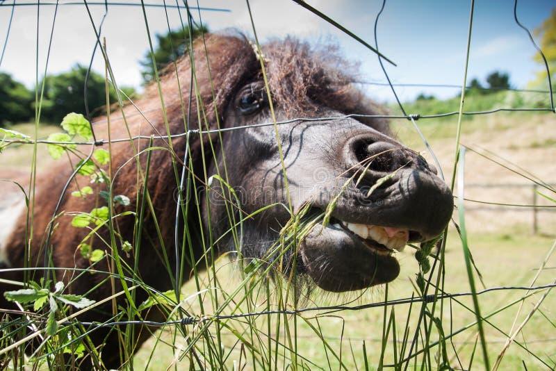 Poney frôlant à la haute herbe photographie stock libre de droits
